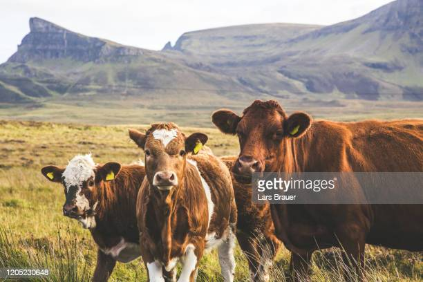 highland cattles - hill stock pictures, royalty-free photos & images