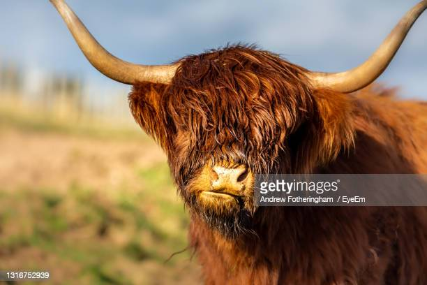 highland coo - dundee scotland stock pictures, royalty-free photos & images