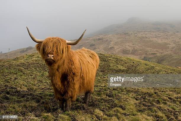 highland coo. - highland cattle stock photos and pictures