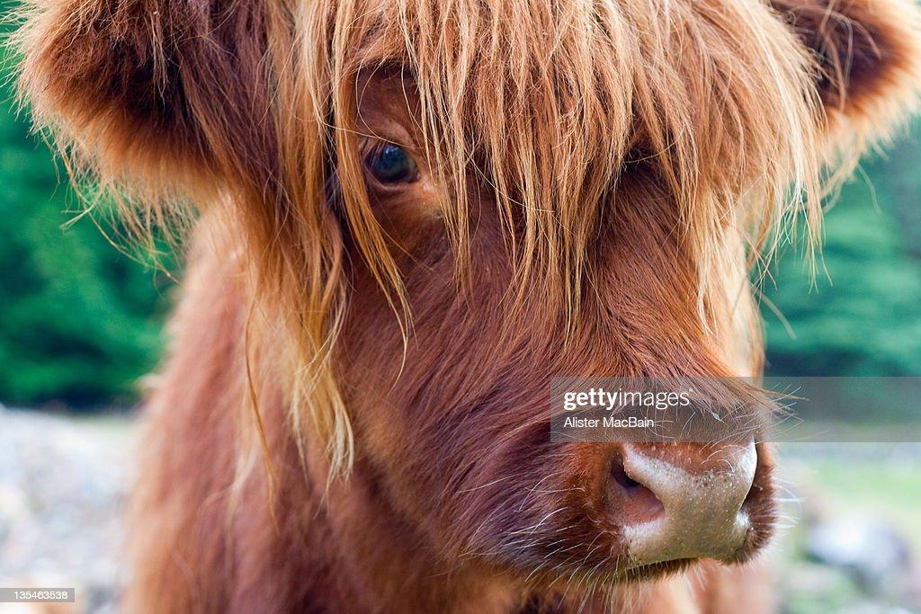 Highland cow calf : Stock Photo