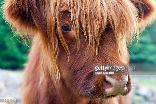 highland cow calf - highland cattle stock photos and pictures