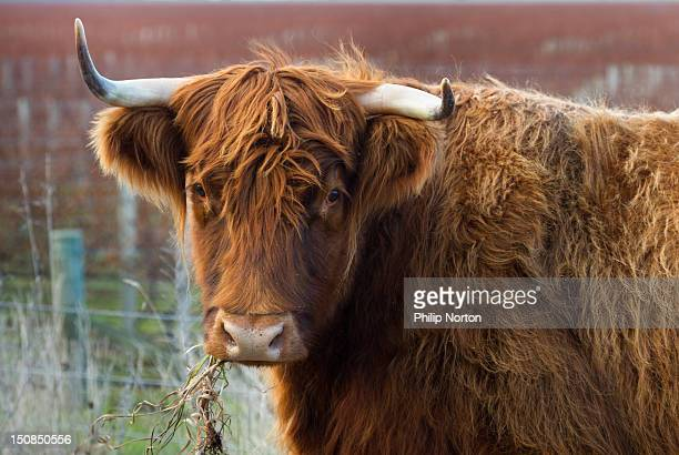 Highland cow chewing on grass