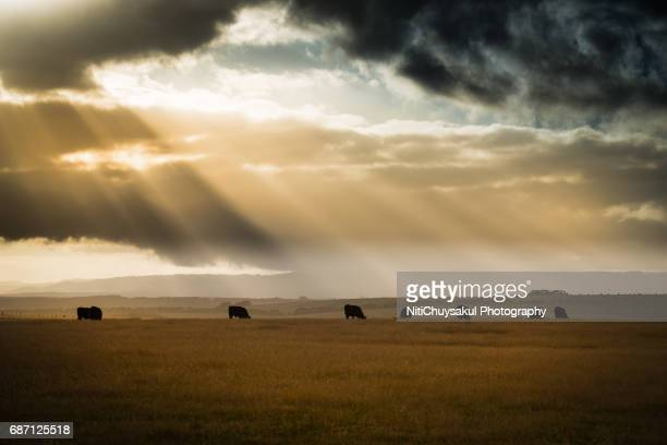 highland cow enjoying the evening sun in australia - ranch stock pictures, royalty-free photos & images