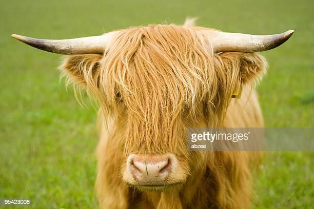 Highland cow face
