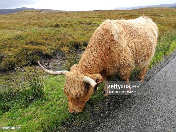 highland cow grazing at the side of the road - lucinda lee stock pictures, royalty-free photos & images