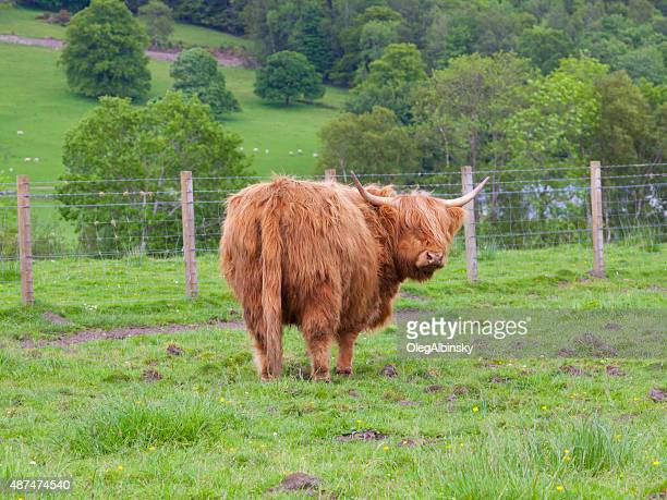 Highland cow (Hairy Coo) grazing in Scottish Highlands, United Kingdom.