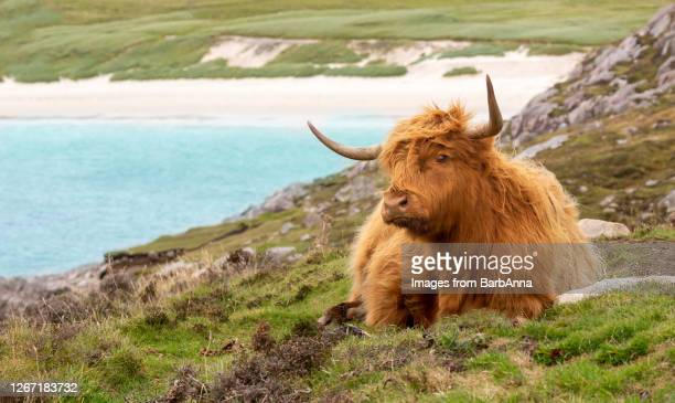 highland cow, huisinis, isle of harris, outer hebrides, scotland, uk - highland cattle stock pictures, royalty-free photos & images