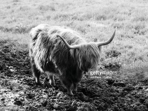 highland cow in a field - pollock country park stock pictures, royalty-free photos & images