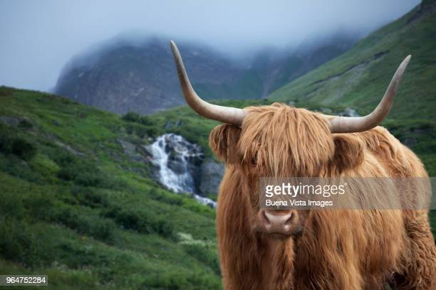 Highland cow in a green pasture