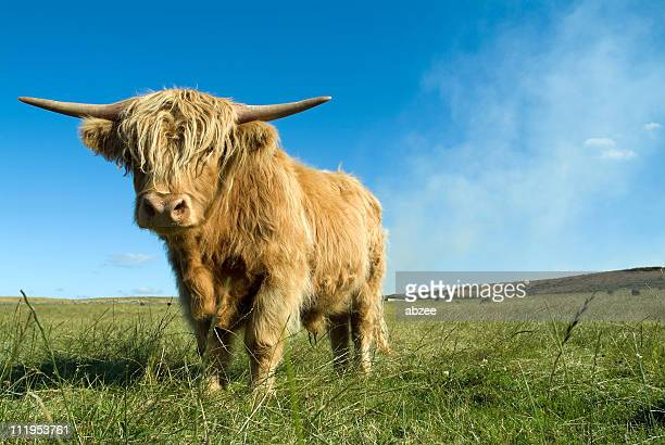 highland cow in field on a sunny day - highland cattle stock photos and pictures