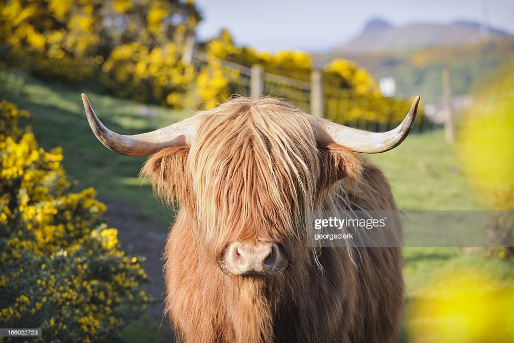Highland Cow in Flowering Gorse : Stock Photo