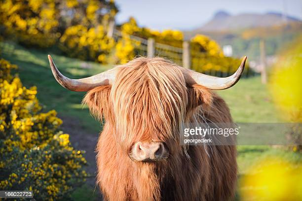 highland cow in flowering gorse - schotland stockfoto's en -beelden
