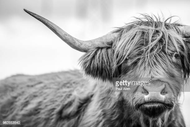 a highland cow in scotland. - highland cattle stock photos and pictures