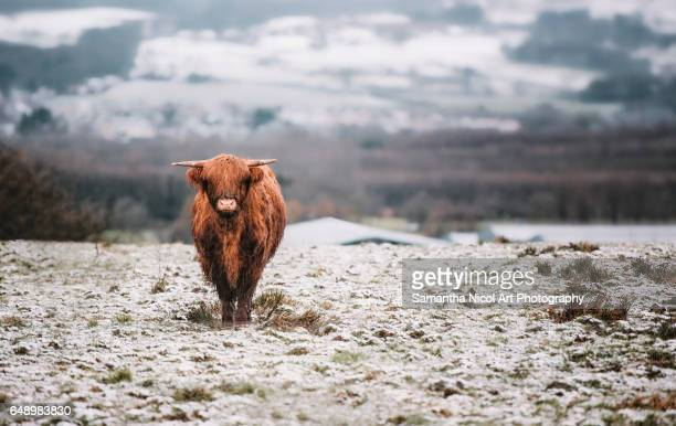highland cow in the slush - highland cattle stock photos and pictures