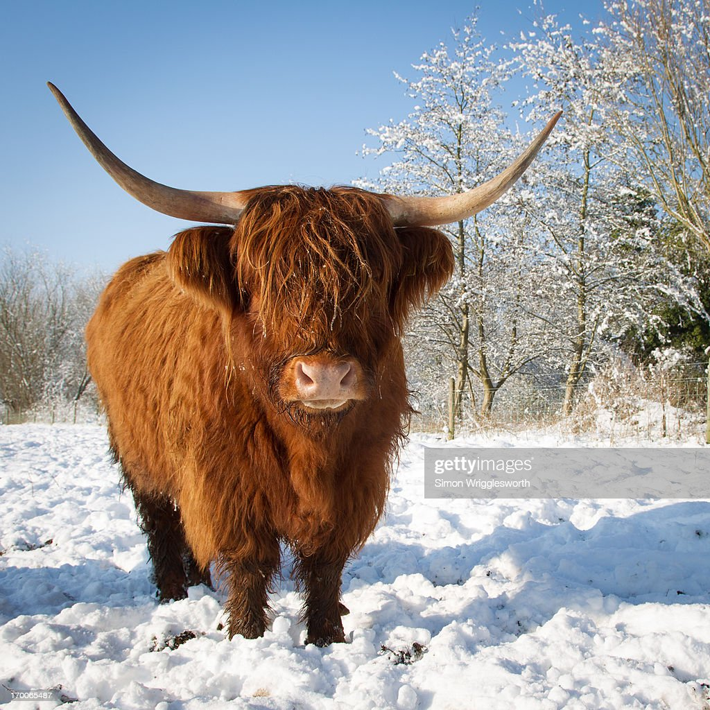 Highland Cow In The Snow High-Res Stock Photo - Getty Images - photo#6
