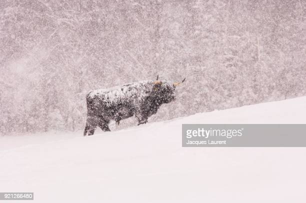 Highland Cow in Winter Storm