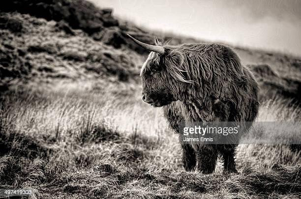 Highland Cow monochrome profile portrait