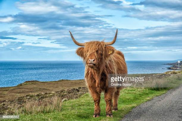 highland cow on scottish west coast - highland cattle stock photos and pictures