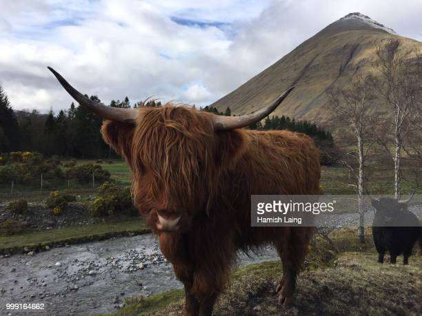 Highland Cow on the West Highland Way