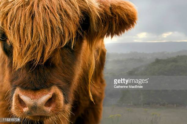 highland cow - catherine macbride stock pictures, royalty-free photos & images