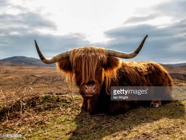 highland cow - landscape stock pictures, royalty-free photos & images