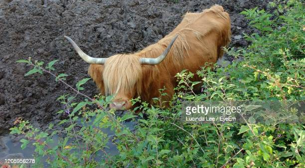 highland cow - lucinda lee stock pictures, royalty-free photos & images