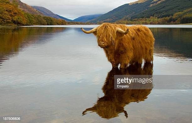 highland cow. - highland cattle stock photos and pictures