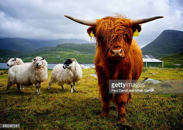 highland cow - highland cattle stock photos and pictures