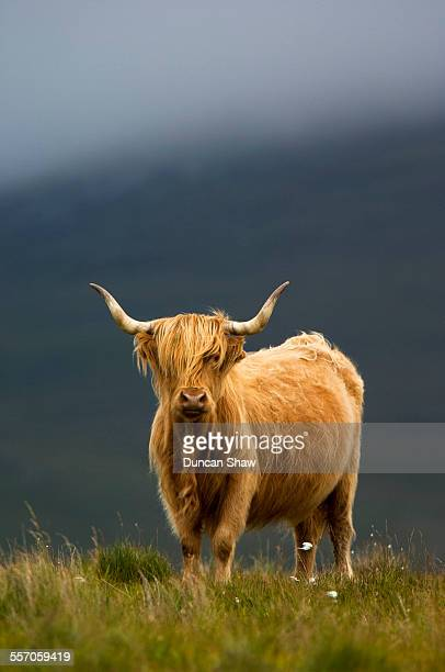 highland cow - inverness stock photos and pictures