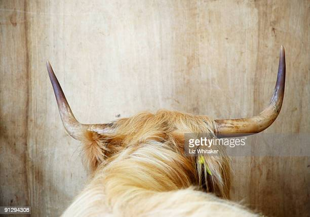Highland cow, rear view