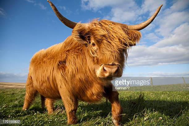 highland cow, scotland - highland cattle stock photos and pictures
