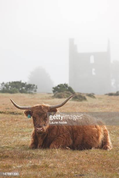 Highland cow sitting down, Bodmin Moor