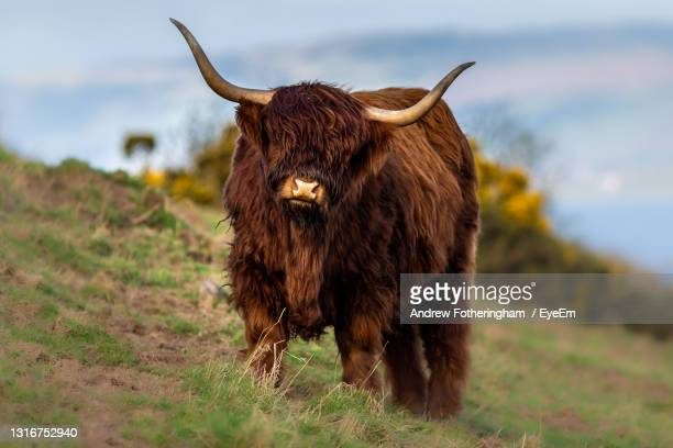 highland cow standing in a field - dundee scotland stock pictures, royalty-free photos & images