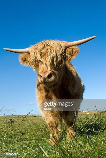 highland cow standing in green field against blue sky - highland cattle stock photos and pictures