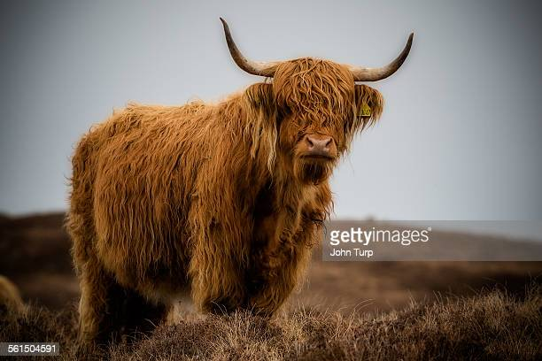 highland cow standing proud. - wild cattle stock photos and pictures