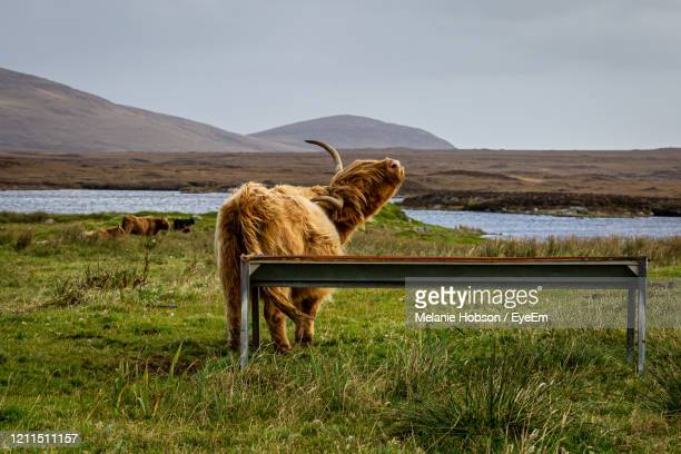 a highland cow with head tilted back whilst mooing, on the hebridean island of north uist - cow mooing stock pictures, royalty-free photos & images