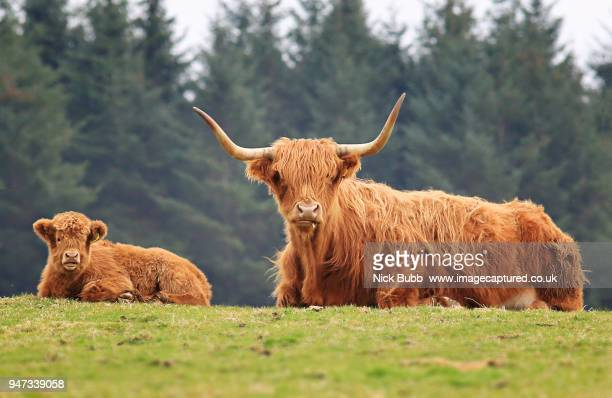 Highland Cow with her young calf.