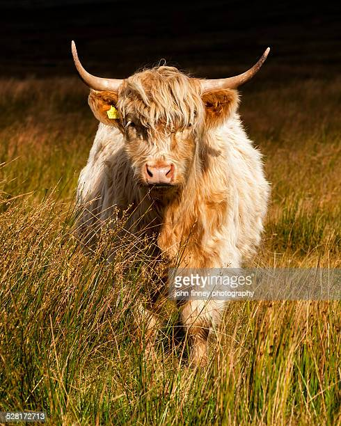 highland cow, yorkshire dales - highland cattle stock photos and pictures