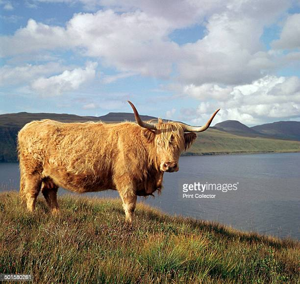 Highland cows at Loch Brittle on the Isle of Skye in Scotland.