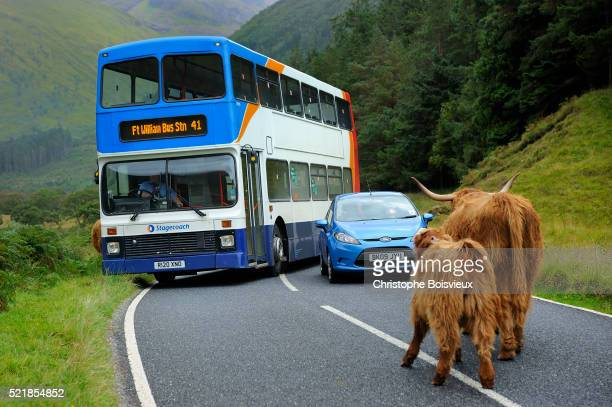 Highland cows blocking the road