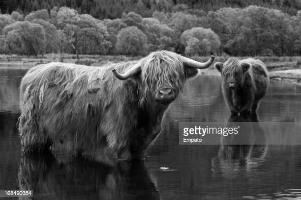 Highland cows cooling off in Loch Voil.