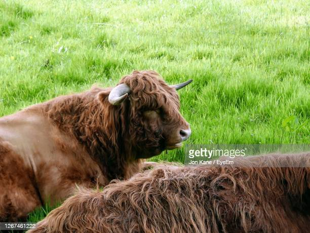 highland cows in a field - pollock country park stock pictures, royalty-free photos & images