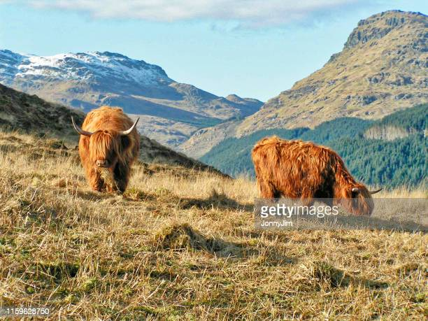 highland cows in scotland - scotland stock pictures, royalty-free photos & images