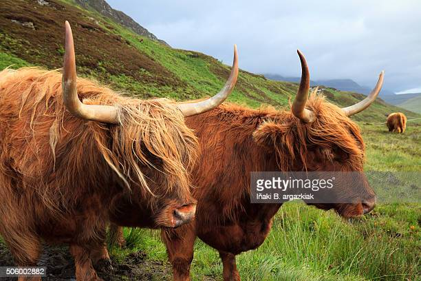 highland cows in skye island - iñaki mt stock photos and pictures