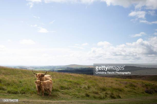 highland cows modelling in front of the camera on a sunny day - medium group of animals stock pictures, royalty-free photos & images