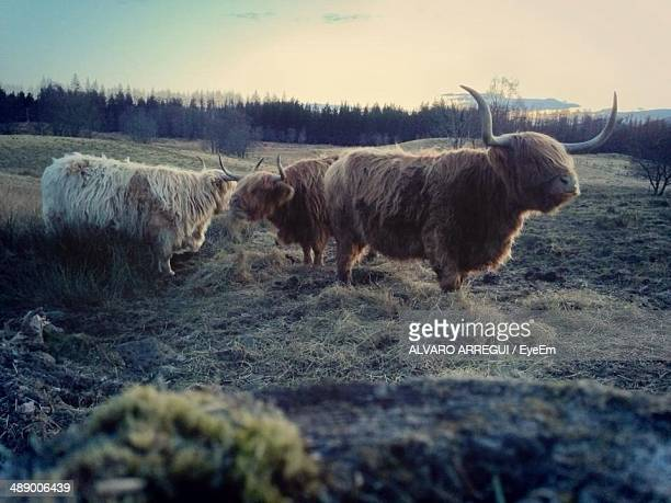 Highland cows on field
