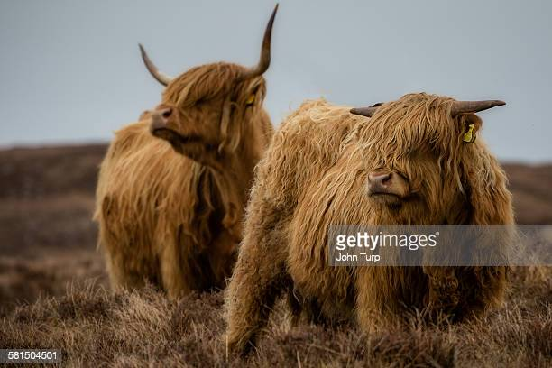 Highland cows on open moorland.