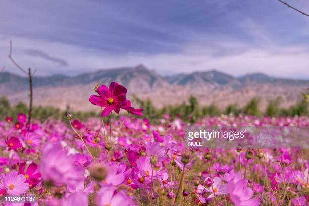 highland flowers - crucíferas - fotografias e filmes do acervo