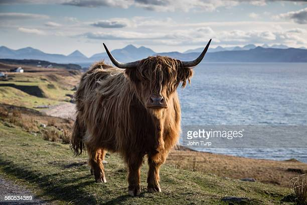 highland horns - highland cattle stock photos and pictures