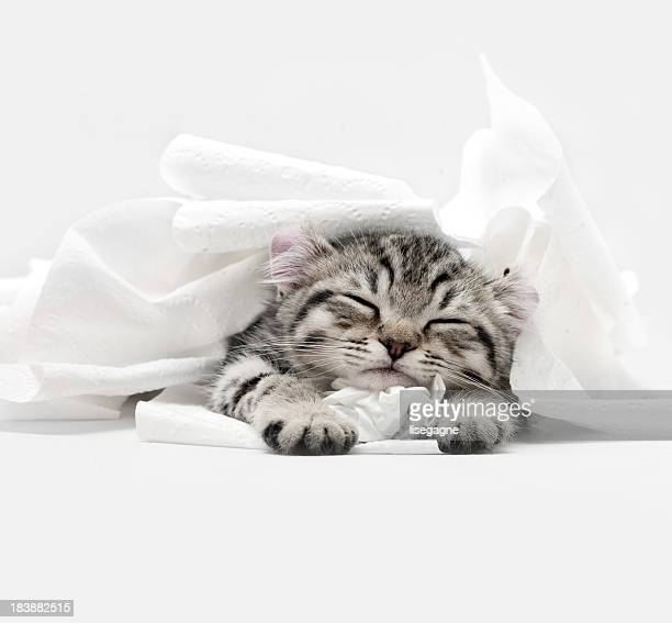 highland lynx kitten - cute stock pictures, royalty-free photos & images